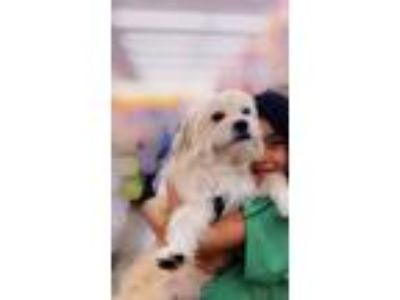Adopt Goofy a White - with Red, Golden, Orange or Chestnut Goldendoodle /