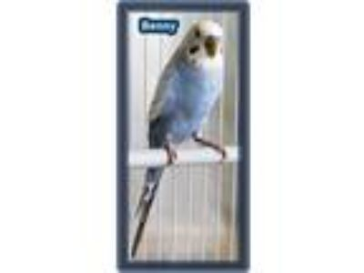 Adopt Benny and Titan a Blue Budgie bird in Tampa, FL (19687730)