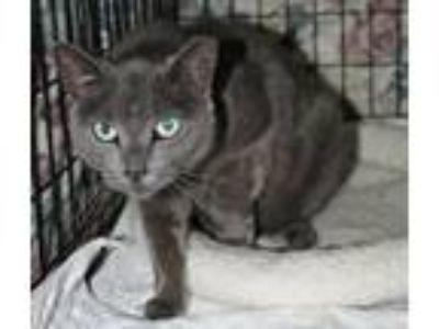 Adopt Beverly a Domestic Short Hair