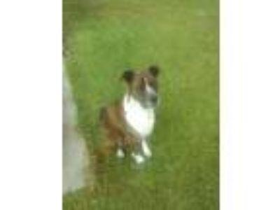 Adopt Junior a Brindle Terrier (Unknown Type, Medium) / Bluetick Coonhound /