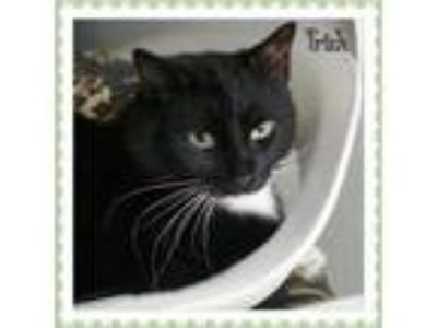 Adopt Tricia a Domestic Short Hair