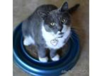Adopt Sam a Gray or Blue (Mostly) American Shorthair (short coat) cat in East