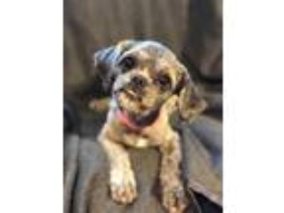 Adopt SuzyQ a Tan/Yellow/Fawn - with Black Shih Tzu / Mixed dog in
