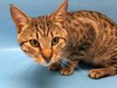 Adopt Apollo a Brown or Chocolate Domestic Shorthair / Mixed cat in Golden