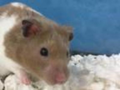 Adopt Mob a White Hamster / Mixed small animal in St. Paul, MN (25242627)