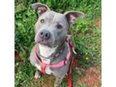 Adopt Sheba a Gray/Silver/Salt & Pepper - with Black Pit Bull Terrier dog in