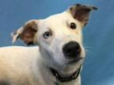 Adopt Sali a Catahoula Leopard Dog, Mixed Breed