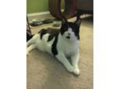 Adopt Patches a Domestic Short Hair, Tuxedo