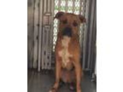 Adopt ELLIE MAE a Tan/Yellow/Fawn - with White Boxer / Mixed dog in Lincolnton