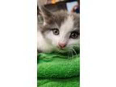 Adopt Mim a Domestic Short Hair