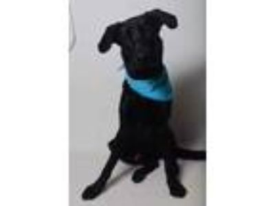 Adopt 19-455D Shadow a Black Labrador Retriever / Shepherd (Unknown Type) /