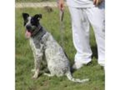 Adopt Bruno (PAWS grad) a White Australian Cattle Dog / Mixed dog in Waxahachie