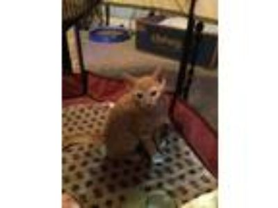 Adopt Hobbes (JA) a Domestic Short Hair