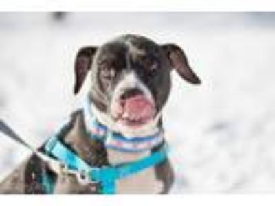 Adopt Bowser a Black - with White Labrador Retriever / American Pit Bull Terrier