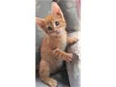 Adopt Irv a Orange or Red Tabby Domestic Shorthair (short coat) cat in