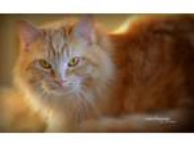 Adopt Ginger a Domestic Mediumhair / Mixed cat in Osage Beach, MO (20852187)
