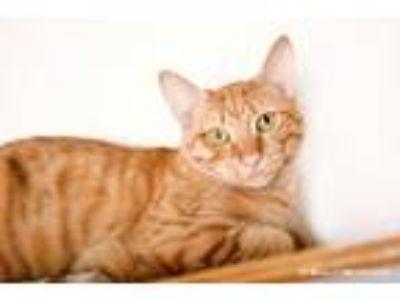 Adopt Farley a Domestic Shorthair / Mixed (short coat) cat in Ft.