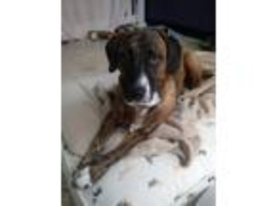 Adopt Mystique a Brindle Hound (Unknown Type) / Mixed dog in Thousand Oaks
