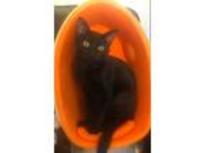 Adopt Licorice a Domestic Shorthair / Mixed (short coat) cat in Valley Park