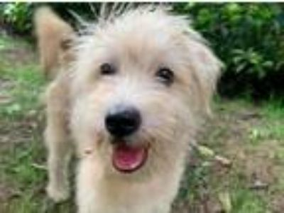 Adopt Buddy a West Highland White Terrier / Westie