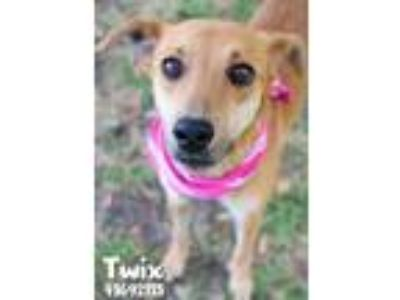 Adopt Twix a Tan/Yellow/Fawn Shepherd (Unknown Type) / Mixed dog in Gulfport