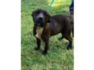 Adopt Cisco a Labrador Retriever