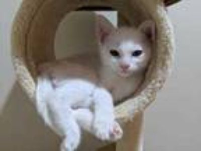Adopt Arthur a White Domestic Shorthair / Domestic Shorthair / Mixed cat in