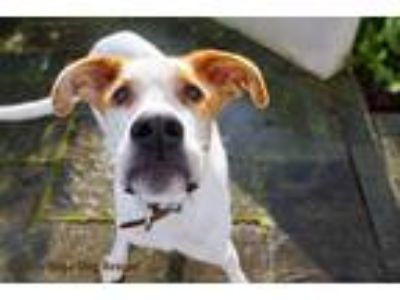 Adopt Sherman a White - with Red, Golden, Orange or Chestnut Great Dane /