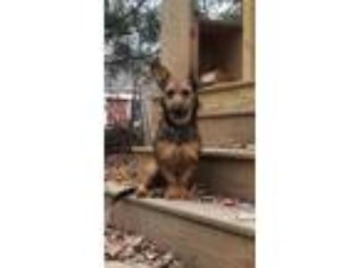 Adopt Pepper Pots a Red/Golden/Orange/Chestnut Terrier (Unknown Type