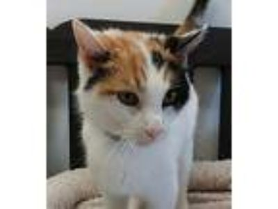 Adopt Patches a Domestic Shorthair / Mixed cat in Atascadero, CA (25566058)