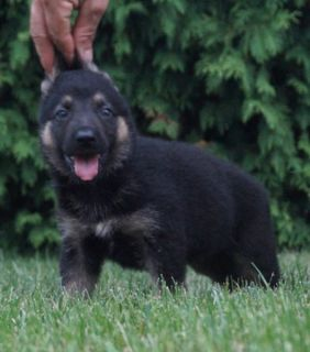 German Shepherd Dog PUPPY FOR SALE ADN-89375 - Amazing AKC German  Shepherd Puppies