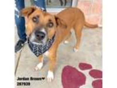 Adopt JB a Boxer dog in San Antonio, TX (23859988)