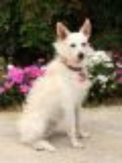 Dharma Poodle - Miniature Schnauzer Dog