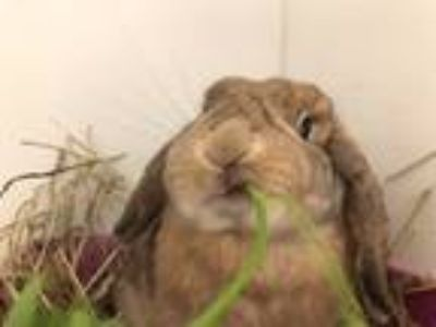 Adopt Lola a Mini Lop / Mixed (short coat) rabbit in New York, NY (25497548)