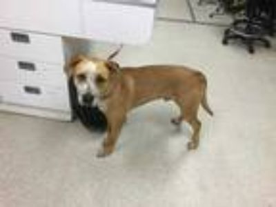 Adopt Dog a Brown/Chocolate - with White Australian Shepherd / American Pit Bull