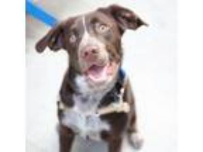 Adopt Ace a Pointer, Beagle