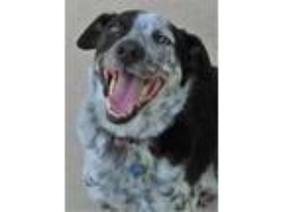 Adopt Kivi a Black Australian Cattle Dog / Mixed dog in Waupaca, WI (25650603)