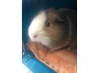 Adopt Bambi a Brown or Chocolate Guinea Pig / Mixed small animal in Clearwater