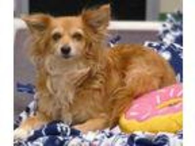 Adopt Cinnamon a Brown/Chocolate Pomeranian / Mixed dog in The Colony