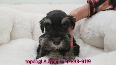 Schnauzer (Standard) PUPPY FOR SALE ADN-73930 - Schnauzer Puppy Male Hobbs