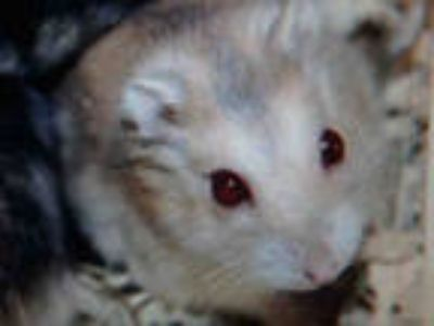 Adopt F-F a Tan or Beige Hamster / Mixed small animal in Chatsworth