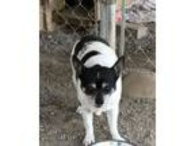 Adopt Adopt a Senior - Squirt a Rat Terrier