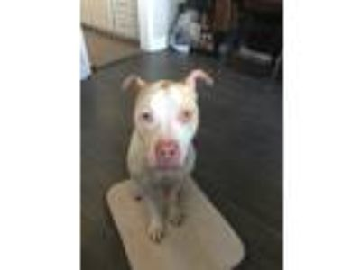 Adopt Knox a White - with Tan, Yellow or Fawn American Pit Bull Terrier /