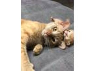 Adopt Clementine a Domestic Short Hair, Tabby