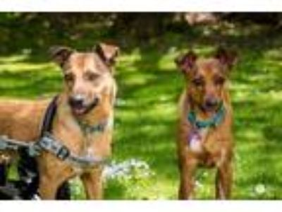 Adopt Thunder / Sunshine a Tan/Yellow/Fawn Hound (Unknown Type) / Mixed dog in