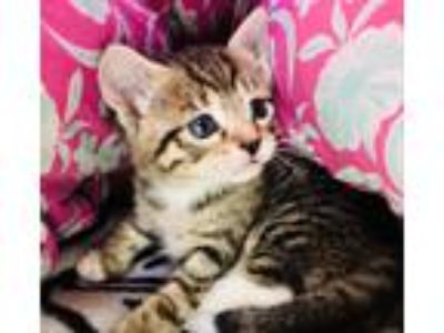 Adopt Angel a Brown Tabby Domestic Shorthair (short coat) cat in Toms River