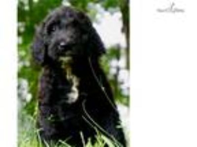 Candy Adorable Goldendoodle Puppy Available!