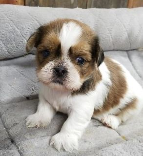 Upbeat Shih Tzu puppies available
