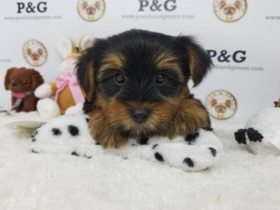 Yorkshire Terrier PUPPY FOR SALE ADN-91997 - YORKSHIRE TERRIER JACKSON MALE