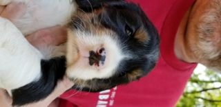 English Springer Spaniel PUPPY FOR SALE ADN-78359 - Beautiful Unplanned Litter